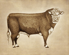 Prints : Hereford Bull, 8X10 Unframed