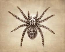 Prints : Tarantula, 8X10 Unframed