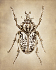Prints : Goliath Beetle, 8X10 Unframed