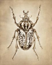 Prints : Goliath Beetle, 8X10 Unframed