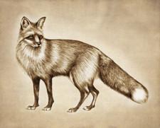 Prints : Red Fox 8X10 Unframed