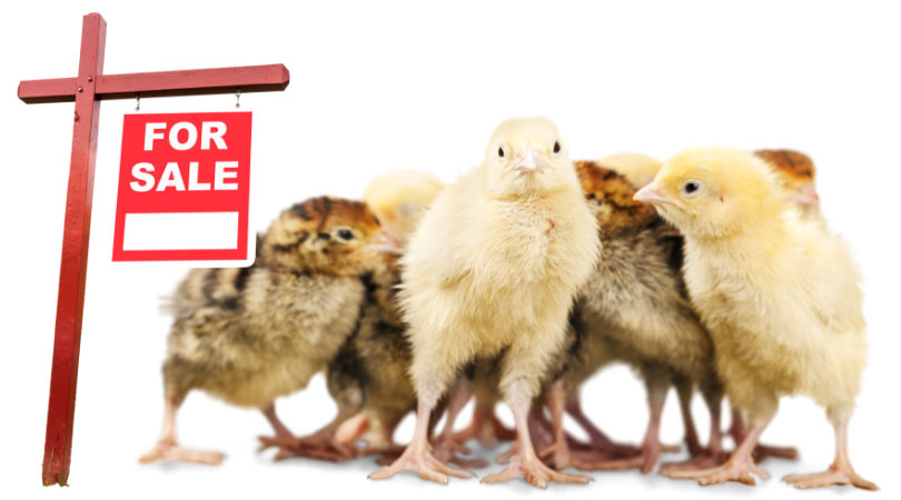 Where can I buy a chicken in the UK? Chickens for sale