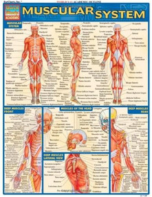 Muscular System by Perez, Vincent, 9781572224971