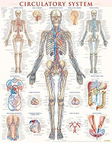 Circulatory System Poster (22 x 28 inches) - Laminated (a QuickStudy Anatomy Reference) by Perez, Vincent, 9781423224174