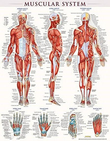 Muscular System Poster (22 x 28 Inches) - Laminated (a QuickStudy Anatomy Reference) by Perez, Vincent, 9781423220664