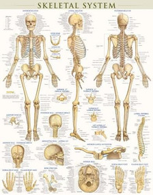 Skeletal System Poster (22 x 28 inches) - Laminated (a QuickStudy Anatomy Reference) by Perez, Vincent, 9781423220671
