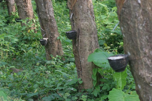 rubber-trees-raw-latex-collecting-in-bowls..jpg