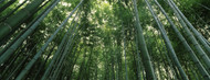 Standard Photo Board: Bamboo Trees Low Angle View -AMER
