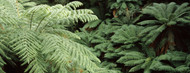 Standard Photo Board: Tarra-Bulga National Park Ferns - AMER