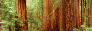 Extra Large Photo Board: Redwoods Muir Woods - AMER