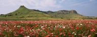 Standard Photo Board: Cosmos Flowers in a Field South Africa - AMER