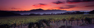 Extra Large Photo Board: Vineyard At Sunset Napa Valley - AMER - INDY