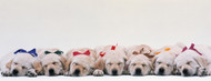 Standard Photo Board: Labrador Puppies Sleeping - AMER