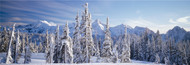 Extra Large Photo Board: Fir Trees Tatoosh Range Mt Rainier National Park - AMER
