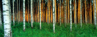 Standard Photo Board: Birch Trees Finland - AMER