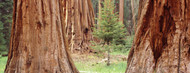 Standard Photo Board: Sapling Among Sequoias - AMER