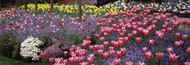 Extra Large Photo Board: Butchart Gardens Tulips - AMER