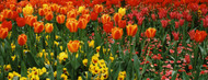Standard Photo Board: Tulips in a Field St. James's Park - AMER