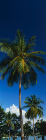 Palm Tree Saint Thomas US Virgin Islands