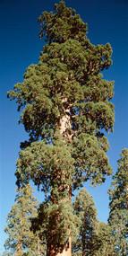 Giant Sequoia Sequoia National Park CA