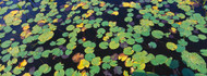 Lily Pads Floating on Water Heron Marsh