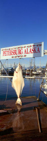 Halibut Hanging at Petersburg Harbor
