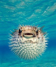 Puffer Fish in Bahamas