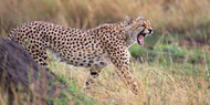 Cheetah in Field