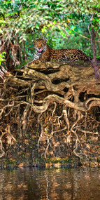 Jaguar Resting at the Riverside