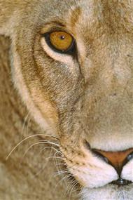 Lionness Tanzania