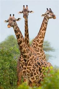 Three Giraffes in Forest