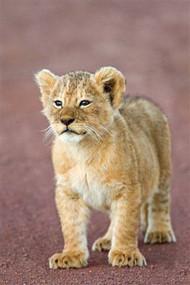 Close-Up of  Cub