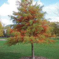 Bald Cypress Tree (Jumbo)