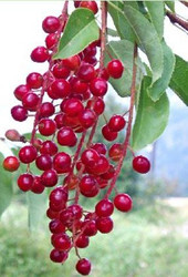 Chokecherry Tree