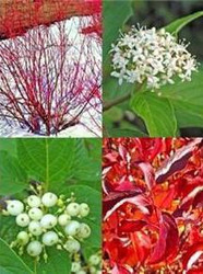 Red Osier Dogwood Shrub