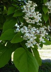 Northern Catalpa Tree