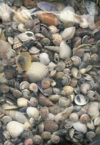 Bag of Mixed Small Seashells #3358A Large Pack!
