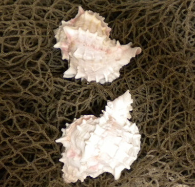 Pink Murex Ramosus Sea Shell Set of 2 # 98037a
