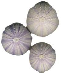 Urchin Shells Nautical Seasons