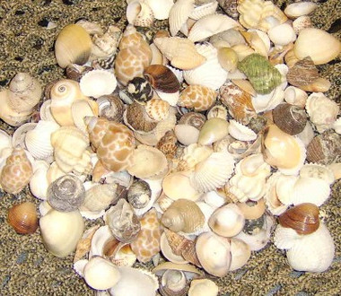 "1/2-1"" Real Seashell Assortment #8126"