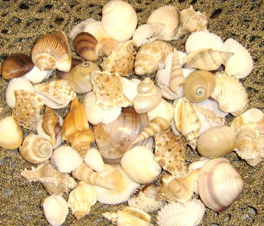 "1-2"" Seashell Assortment #8125"