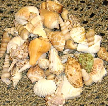 "2-3"" Sea Shell Assortment #8124"