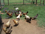 Ameracuna day old pullets