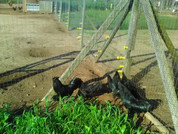6 Ayam Cemani hatching eggs  (FREE Shipping}