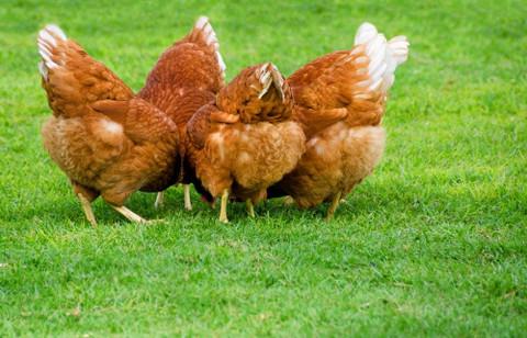 Adult Flock