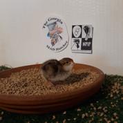 50 Georgia Giant Bobwhite Quail Chicks