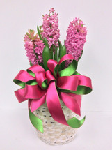 6 Inch Pot Blooming Hyacinths In A Whitewashed Basket With Bow