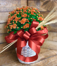 8 inch Hearty Mum Plant in a Basket with Bow