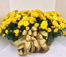 Double basket 8 inch mums in basket with bow