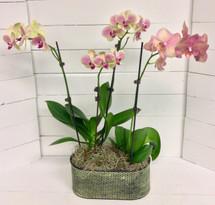 Double phaleonopsis orchid planter